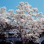 picto magnolia grandiflora denudata p19 jtb photo
