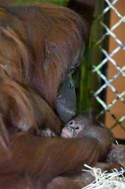 naissance-orang-outan-jardin-des-plantes