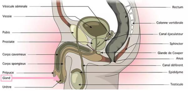 Schéma de l'appareil génital masculin (pénis, gland...)