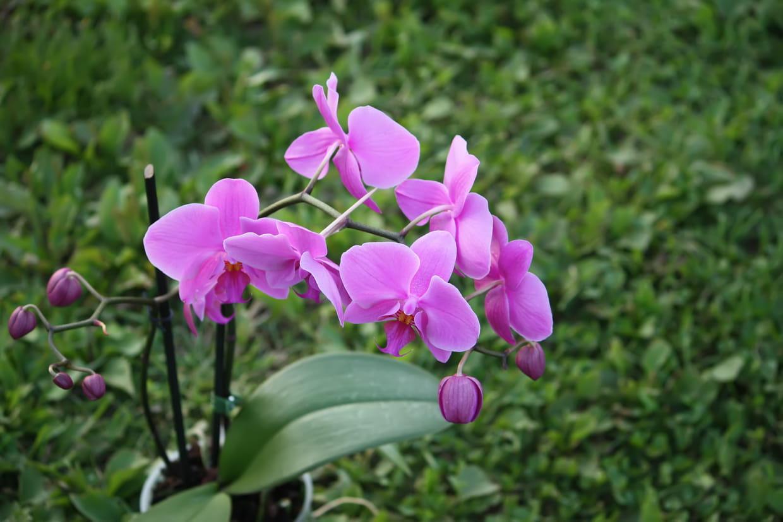 orchid�e : choisir, entretenir et rempoter une orchid�e