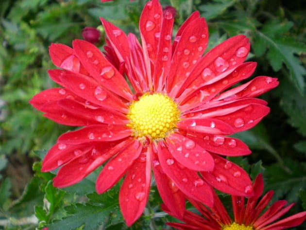 Le chrysanthème rouge décoré par la pluie