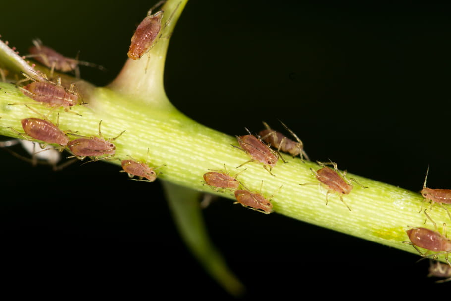 Protéger vos plantes des pucerons