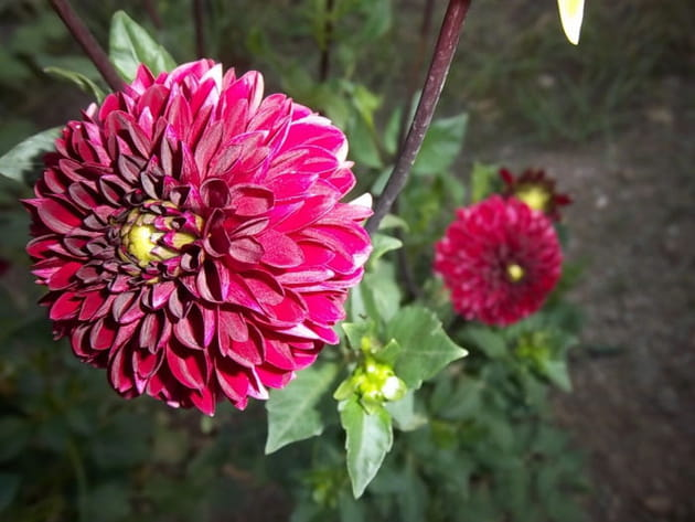 Le dahlia rose fuschia