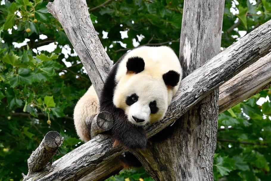 Le bébé panda, nouvelle vedette du Zooparc de Beauval!