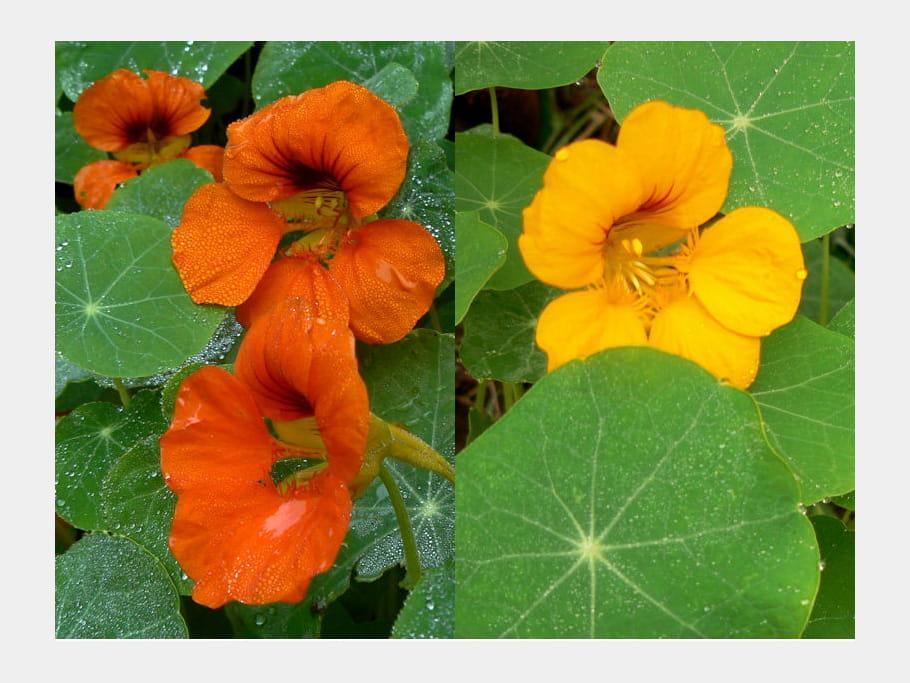 Capucines orange et jaune