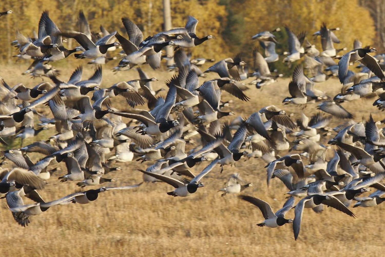 Risque élevé de grippe aviaire en France: faut-il s'inquiéter?