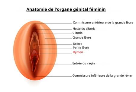 hymen anatomie organe génital femme