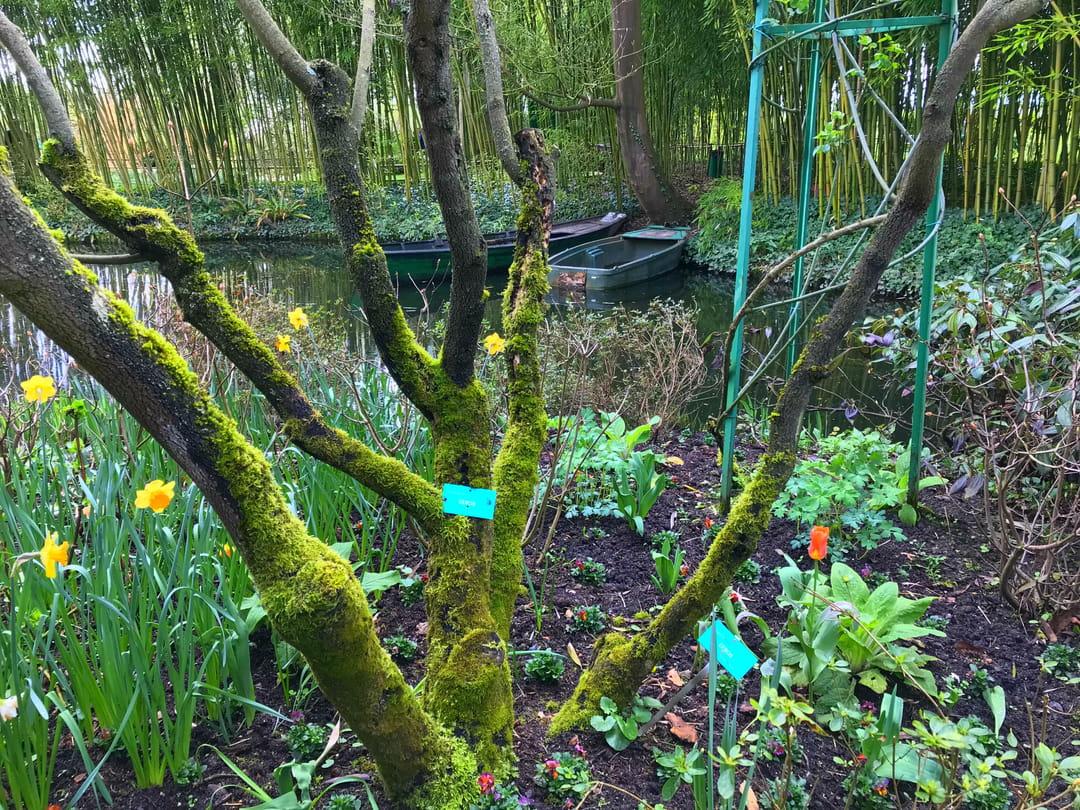 arbre-de-judee-jardin-giverny