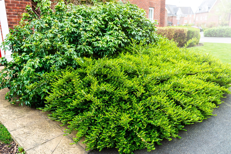 Quand Et Comment Tailler Un Houx arbustes - fiches pratiques pour planter un arbuste
