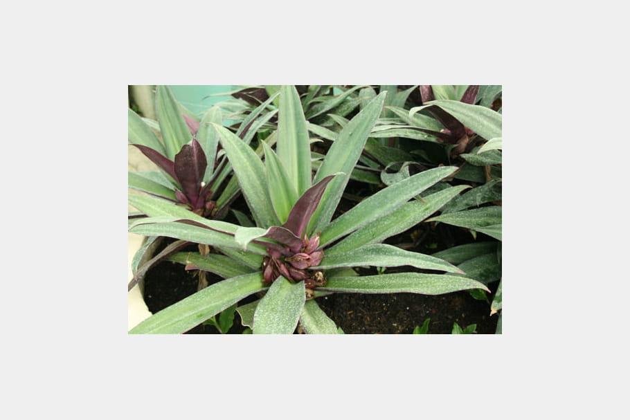 Une plante étoilée