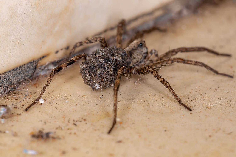 Araignée-loup: photo, morsure, taille, où en France?