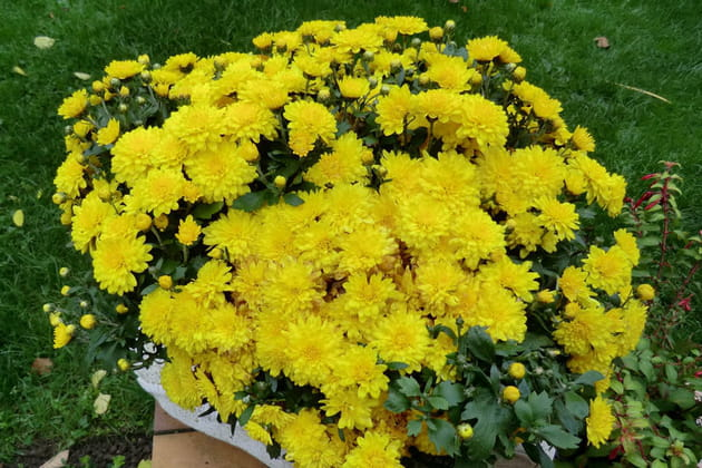 Chrysanthème jaune poussin
