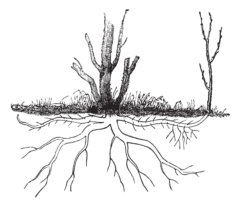 Marcottage:  comment marcotter une plante?