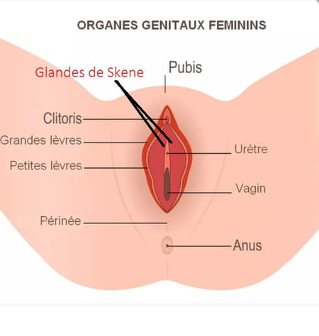 Schéma des glandes de Skene
