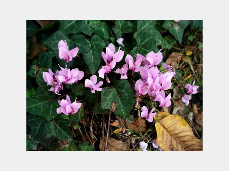 Cyclamens roses
