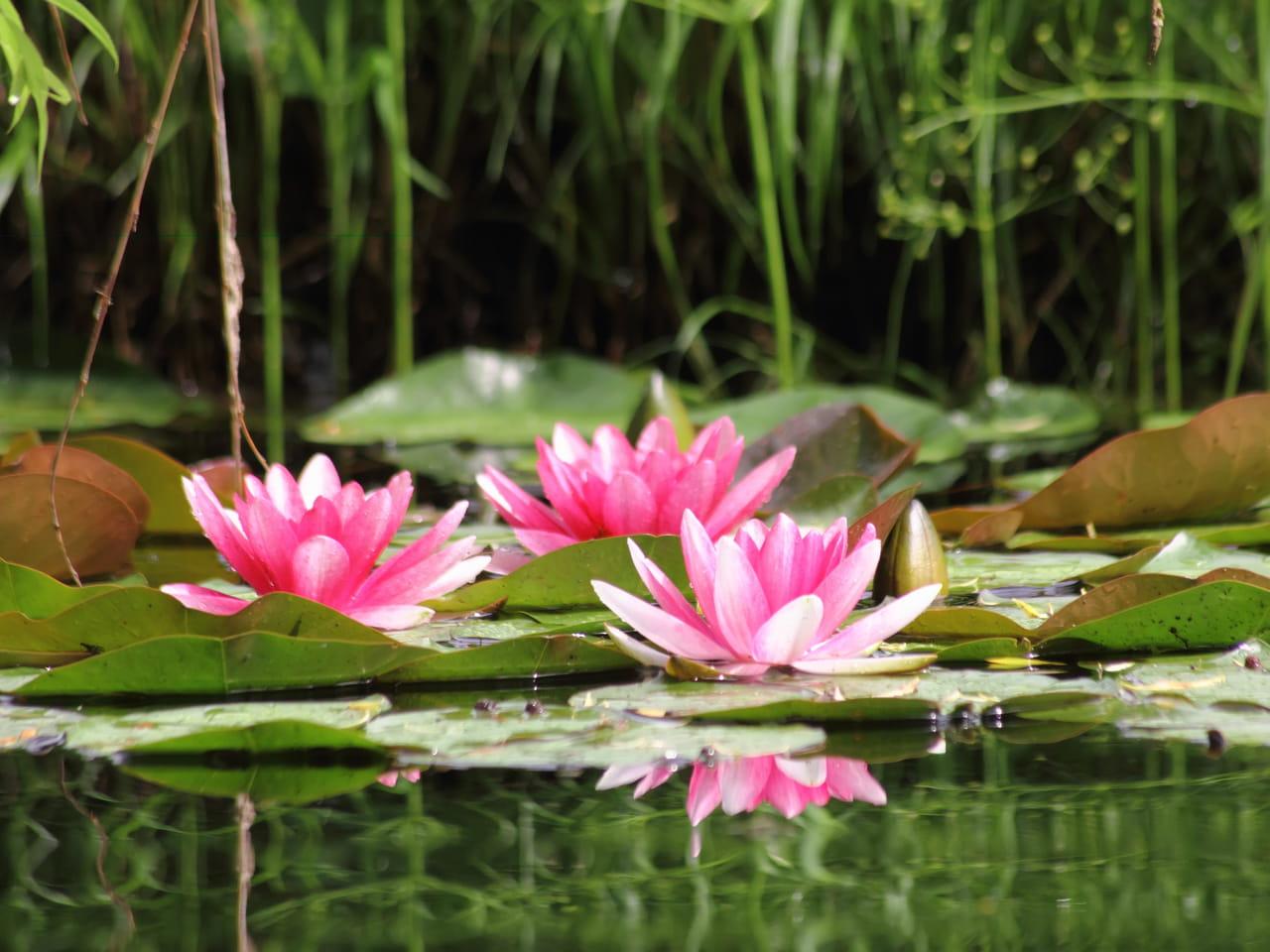 Coloriage Fleur De Nenuphar.Nenuphar Plantation Entretien Division Et Varietes