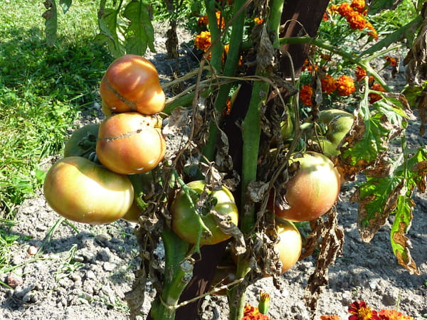 tomate-charbonneuse