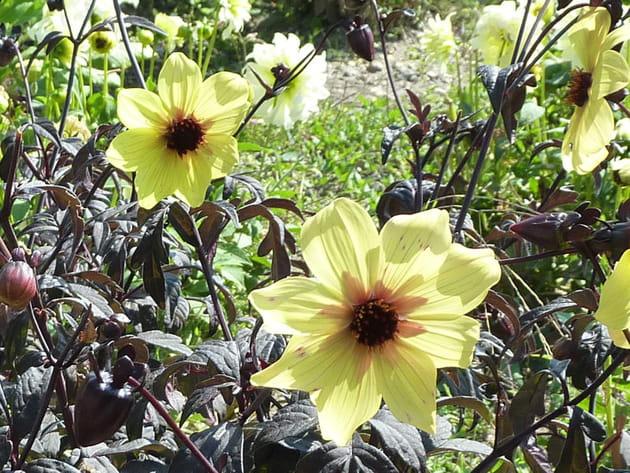 Dahlia pinnata jaune