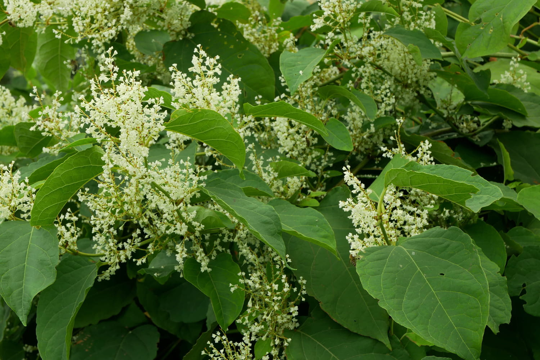 Renouée du Japon: comment éradiquer cette plante invasive?
