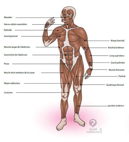 muscle du corps