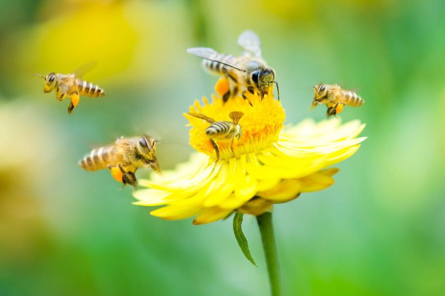 Ségolène Royal oeuvre pour sauver les abeilles