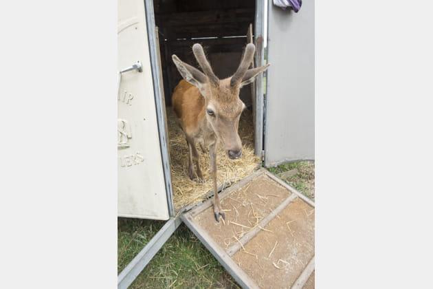 Le transport des animaux