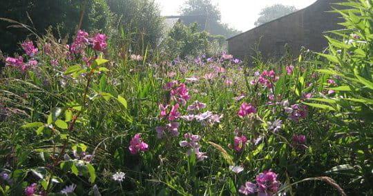 Un champs de pois de senteur for Entretien jardin cahors