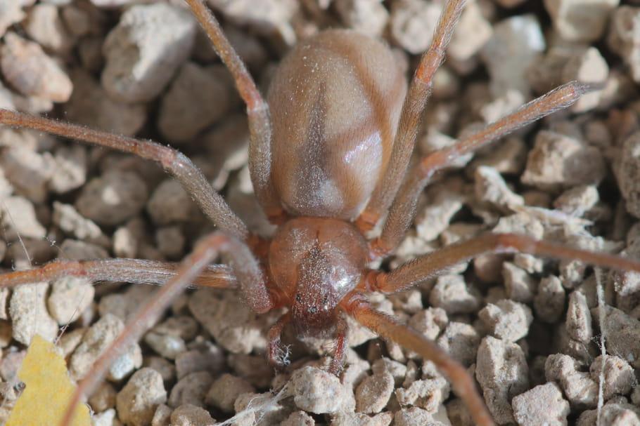 Araignée violoniste: quels risques en cas de morsure?