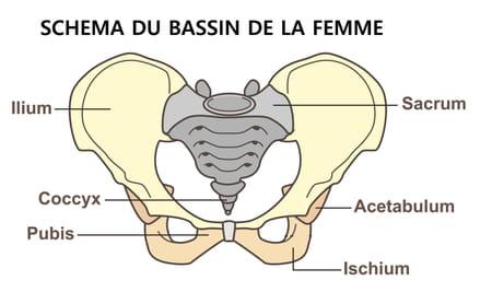 Schéma du coccyx femme
