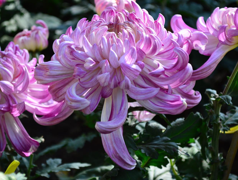 Quelles Fleurs Planter En Septembre les plantes qui fleurissent en septembre