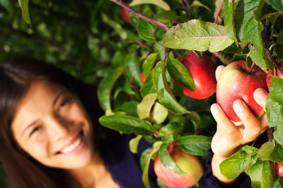 La récolte et la conservation des pommes