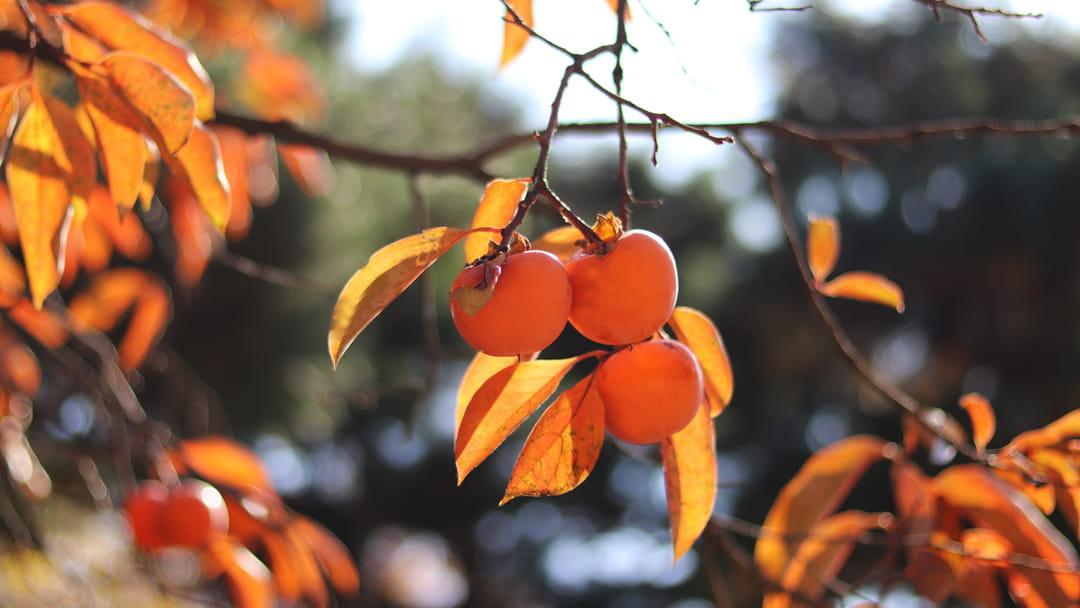 plaqueminier-arbre-a-kaki