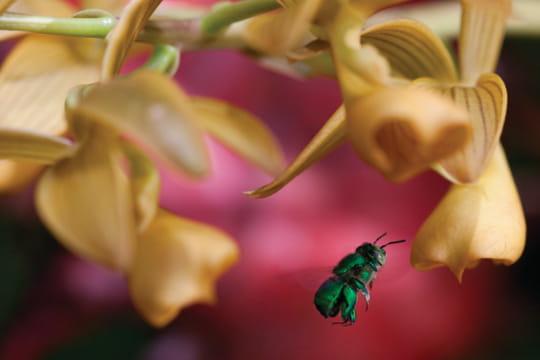 Sournoise orchidée