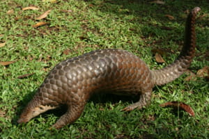 pangolin animal chine coronavirus
