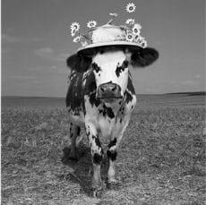 oh la vache ok
