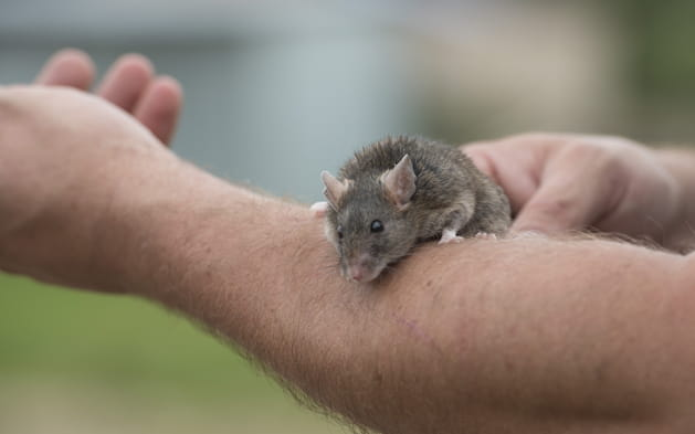 Les souris mises à part
