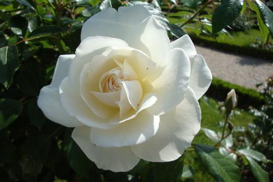 Une rose blanche très populaire