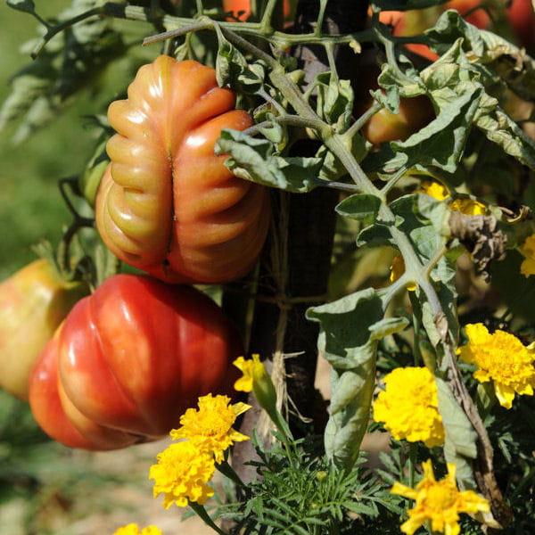 Culture des tomates tout savoir - La bourdaisiere tomates ...