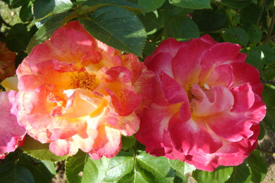 Une rose bien galbée