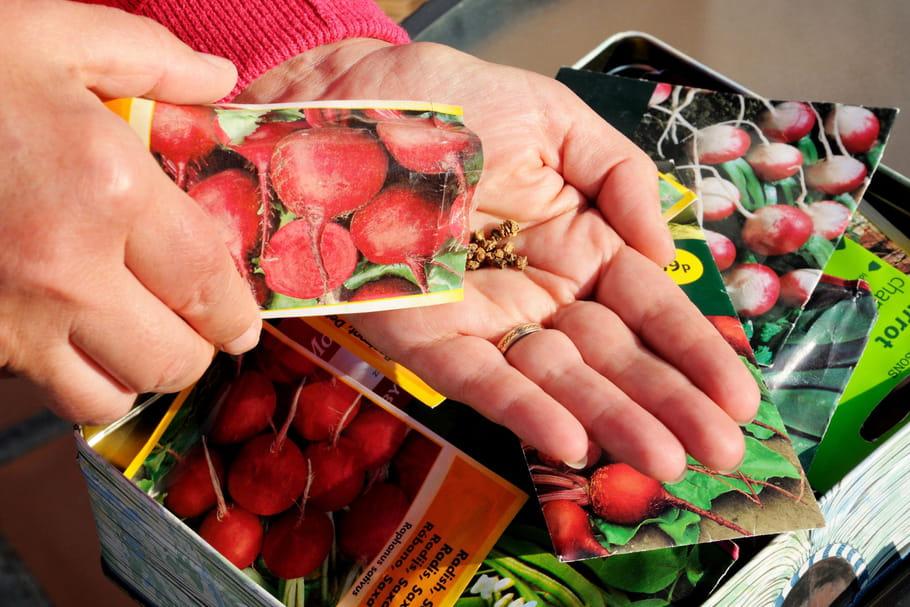 Cultiver des radis: plantation, semis, entretien et récolte