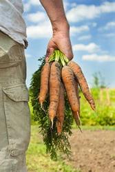 botte de carotte cueillette