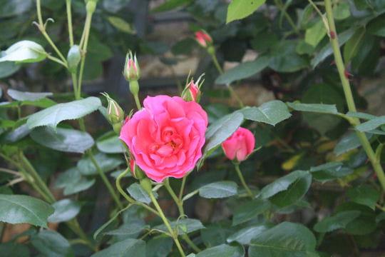 Rosy La Sevillana