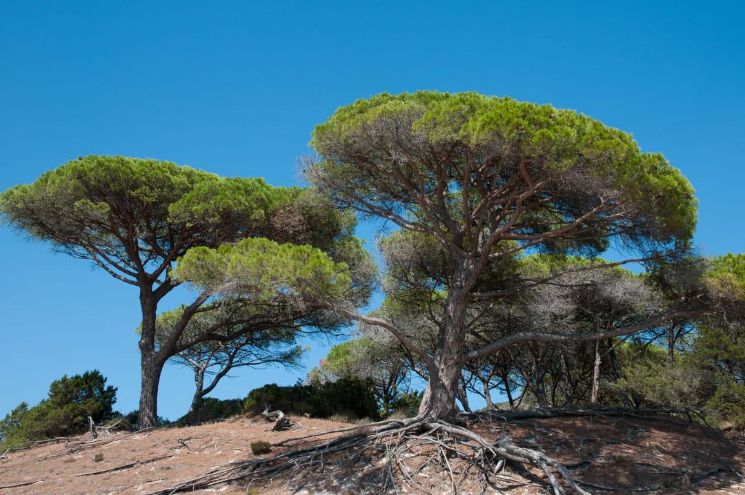 plante-jardin-mediterraneen-pin-parasol