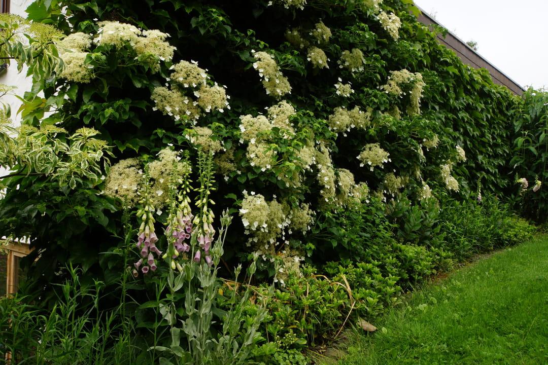 hydrangea-petiolaris-hortensia-grimpant