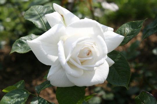Une rose qui atteint des sommets