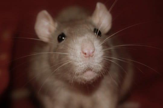 Le rat domestique fascinant et fasciné