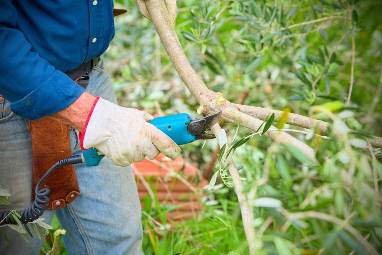 Quand et comment tailler un olivier?