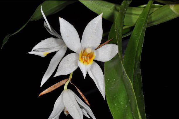 Les Coelogynes, demagnifiquesorchidéestropicales