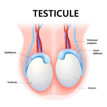 Schema testicule