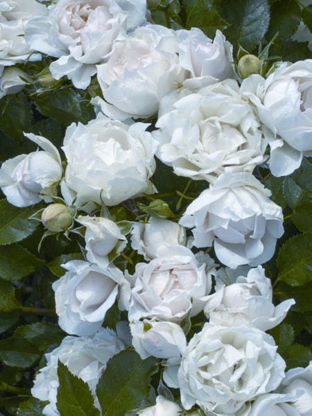Rose 5 vari t s qui ne craignent rien - Planter un rosier grimpant ...